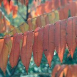 003. Fluweelboom