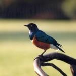 017. superb starling