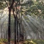 007. rubber plantation Sumatra