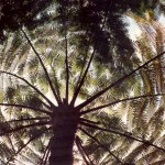 012. tree fern Indonesia