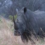 004. white Rhino