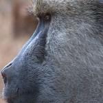 002. Baboon leader