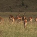 034. impala herd