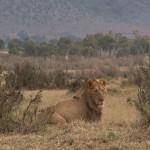 034. Lion King