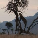 035. luipaard met verse kill