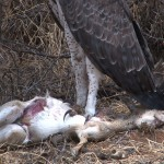 005. Martial Eagle with prey