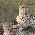 002. cheetahs