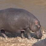 013. Hippo