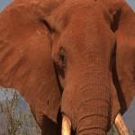 008. olifanten stier