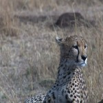 014. cheetah