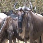 015. wildebeest