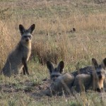 017. bat eared foxes