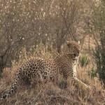 007. leopard