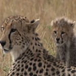 009. Cheetah with cub