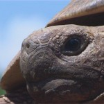 005. Leopard tortoise