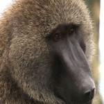014. mama baboon