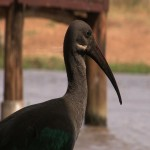 021. Hadada ibis