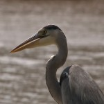 021. blue heron
