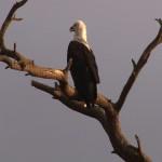 027. fish eagle