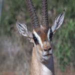 009. Grant's gazelle