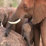 014. wild elephants