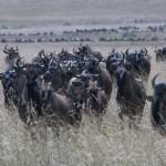 001. Masai Mara loopt vol