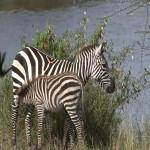 007. Steppe zebra
