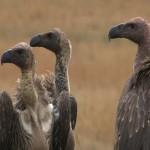 007. Rueppell's vultures