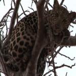 011. luipaard