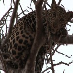 011. leopard ready to jump