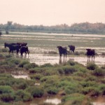 018. black bulls in the marsh