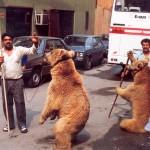 014. bears in Istanbul