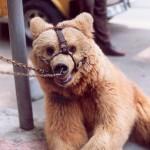 015. bear in Istanbul