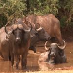 001. Kafferbuffels