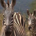 003. Plains zebra