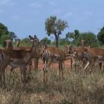 011. impala's