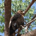 013. Tawny eagle