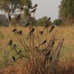 015. swallows