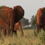 016. rode olifanten
