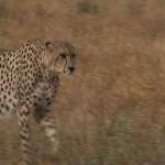 023. cheetah hunting