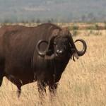 025. Buffel stier