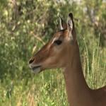 031. impala moeder