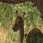 032. impala kid