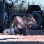 036. warthog family