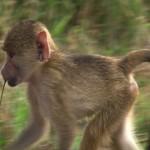 049. jonge  Gele baviaan