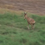 055. Hartenbeest in galop