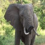 104. wilde  olifantenstier