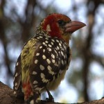 007. Red-and-yellow Barbet