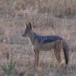 083. Black backed jackal