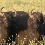 086. Cape buffalo